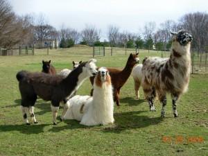 herd 3-08